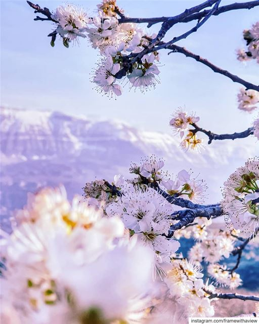 It's no Mount Fuji but give me cherry blossoms, snow capped mountains & a... (Akoura, Mont-Liban, Lebanon)
