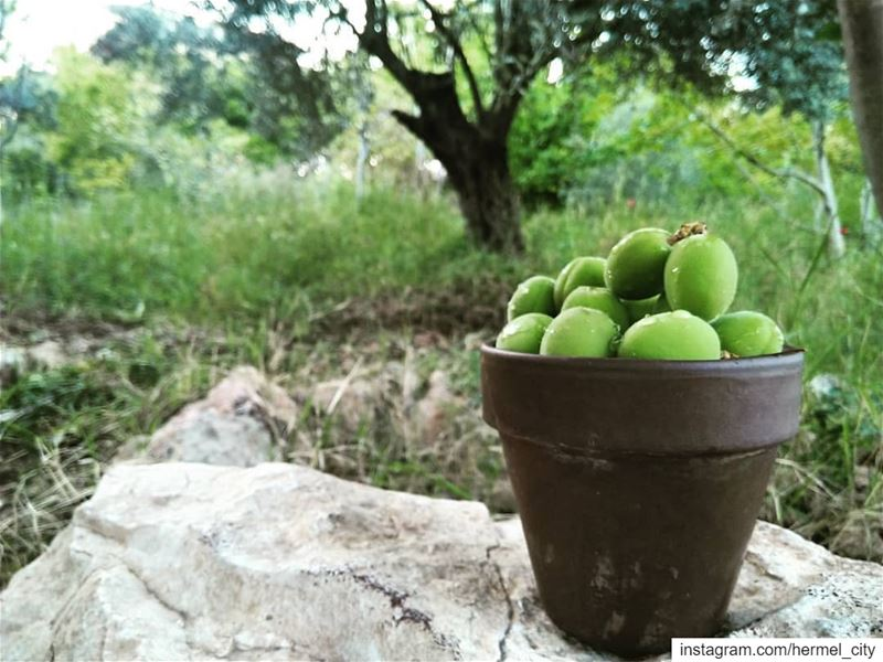 It's the season of green apricot!By @firassafwan hermel  hermel_city ... (Hermel)