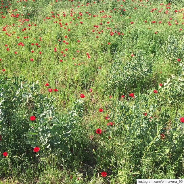 poppies  flowers  red  spring  nature  livelovenature  lebanon  outdoors ... (Al `Uwaynat, Liban-Nord, Lebanon)