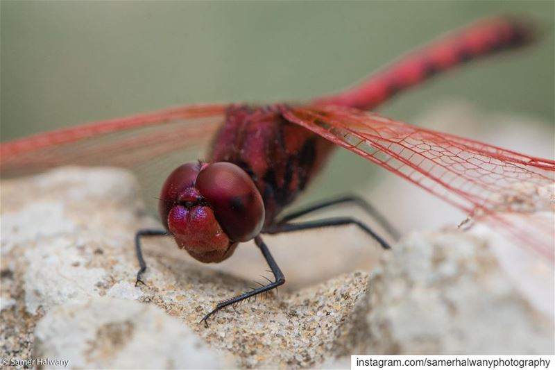 Closeup on the  dragonfly ... nature  macro  photography  insect  wildlife...