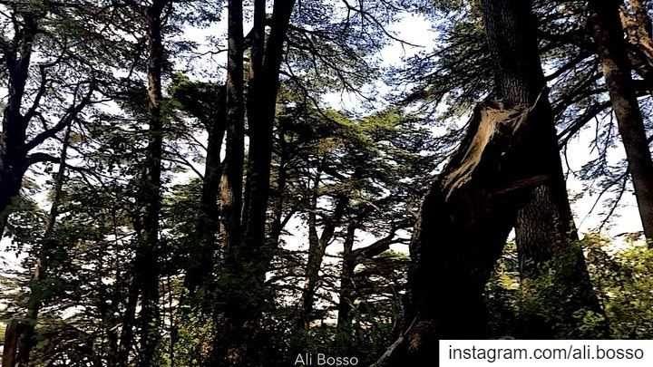 🌲....... beirut  lebanon  dubai  beauty  uae  qatar  love ... (The Cedars of Lebanon)
