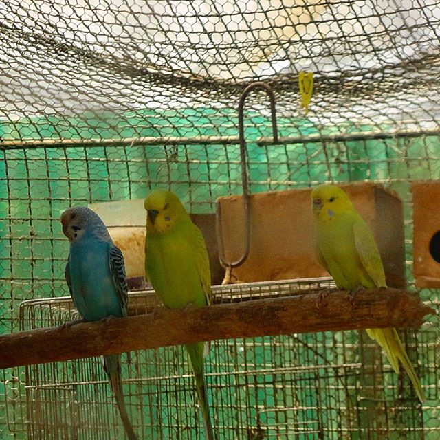 birds colorful oiseaux cage