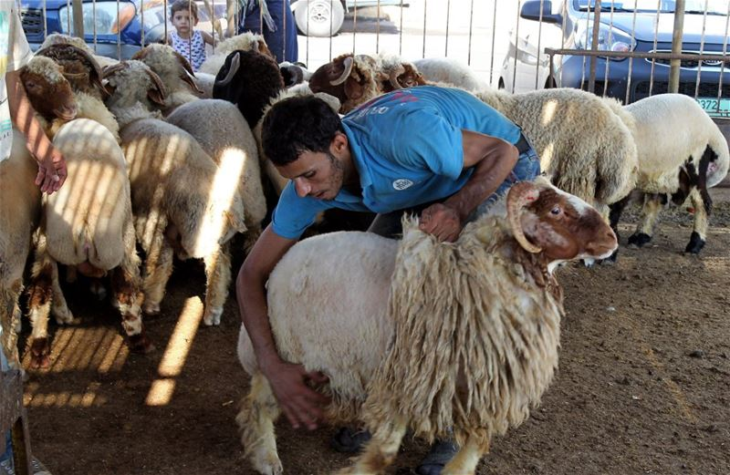 Preparing Sheeps for Eid el Adha
