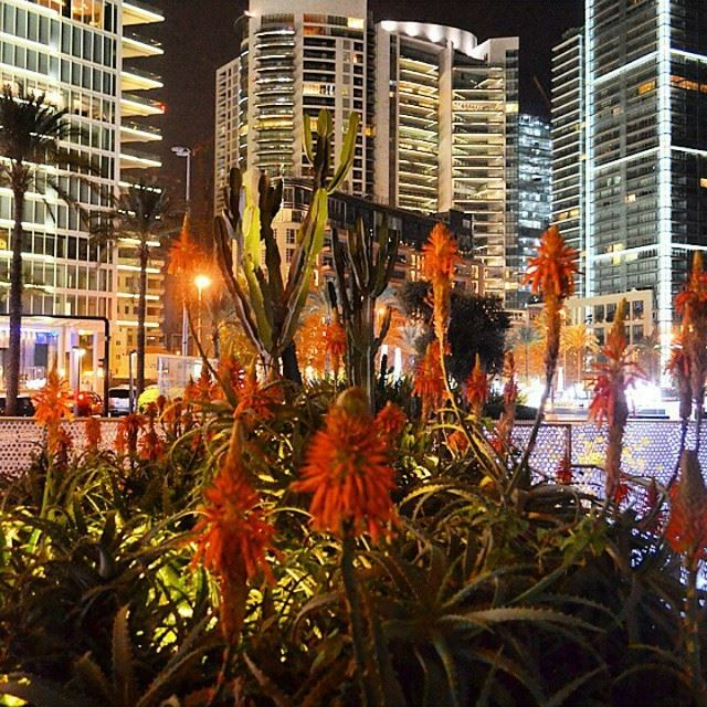 Just Now ... Amazing flowers with a highbuildings on a background lebanon beirut sea hotel trees beauty nature beautiful winter plants nightout nightlife nighttime zaytounabay Photo By @zavalice