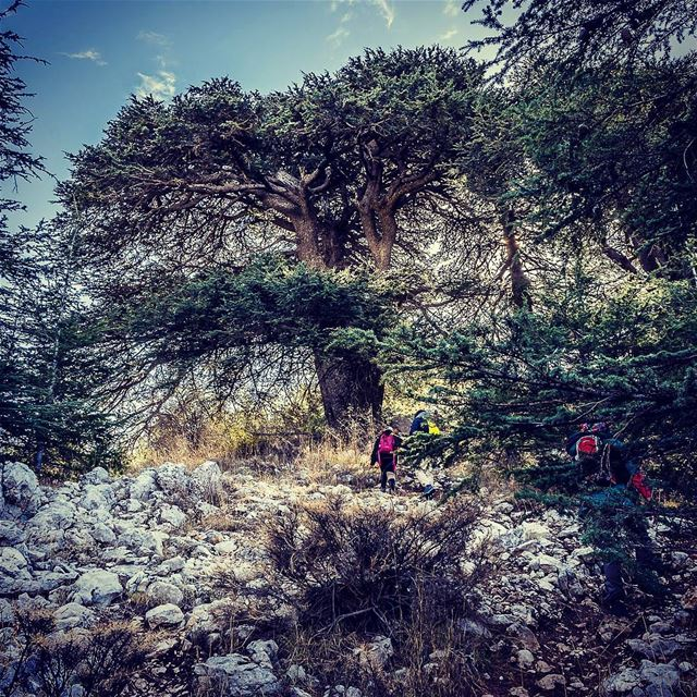 Towards the ancient cedar tree.    (Bâroûk, Mont-Liban, Lebanon)