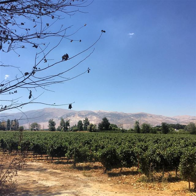grapes  field  vino  lebanon  agriculture  green ...