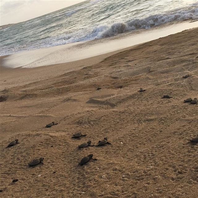 Bye bye baby 🐢🐢🐢🐢 and there they go into the water:) one day old baby... (Soûr, Al Janub, Lebanon)