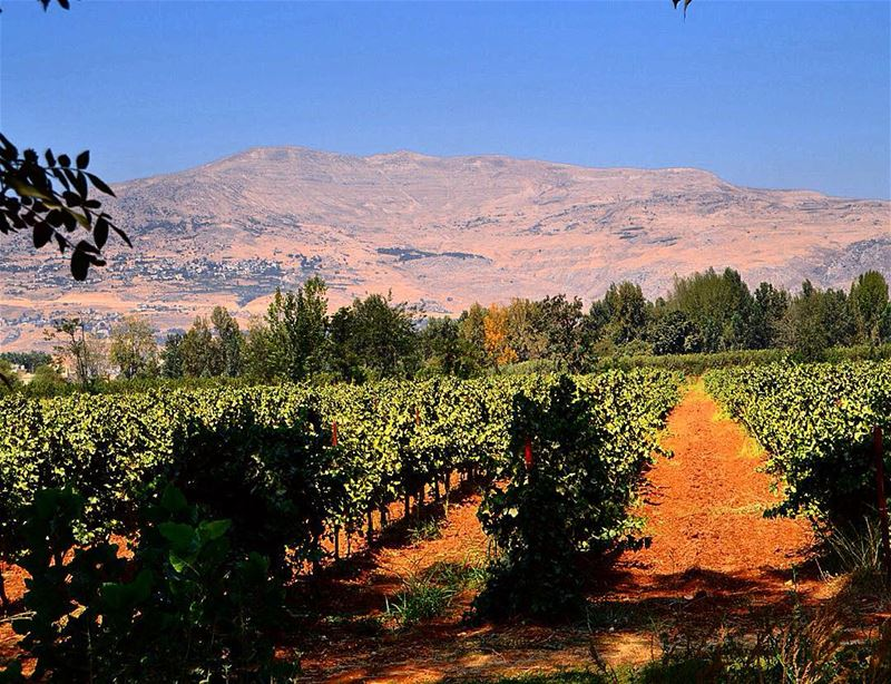 The healthy and rich  agricultural  land of  taanayel  vineyard  grapes ...