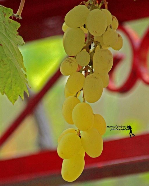 goodmorning  morningtime  grapes  summer nature fruit ...