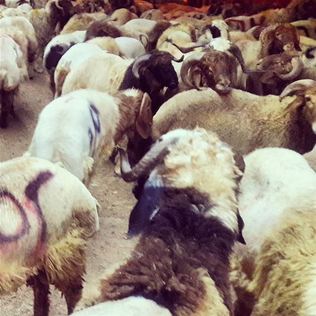 Eid Adha Mubarak for all of you 🐏🐑  HappyEid  Happy  Eid  Mubarak ... (Tripoli, Lebanon)