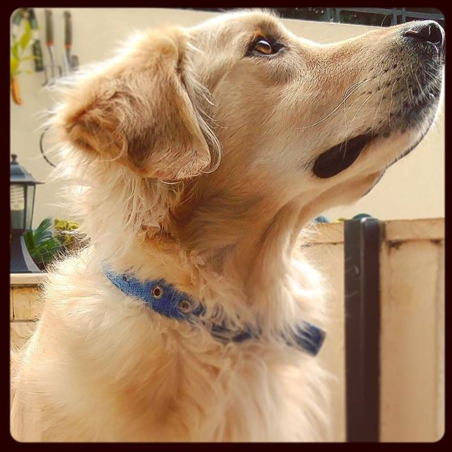 Staring at the neighbors 🐶 Woody  hehasmyheart ♥  ilovemydog   purelove ...