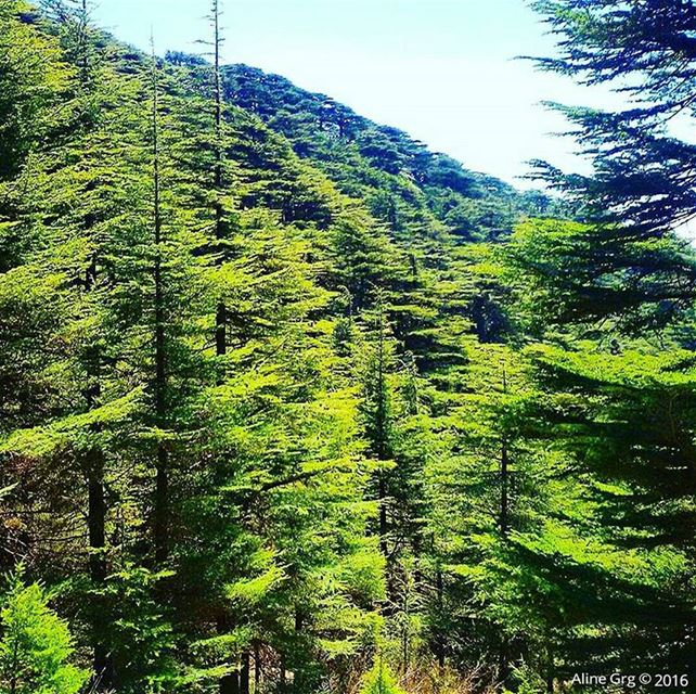 Sound of silence 🌲🍃 tb  cedars  woods  mountain  hiking  peace  hope ... (Maaser El Chouf)