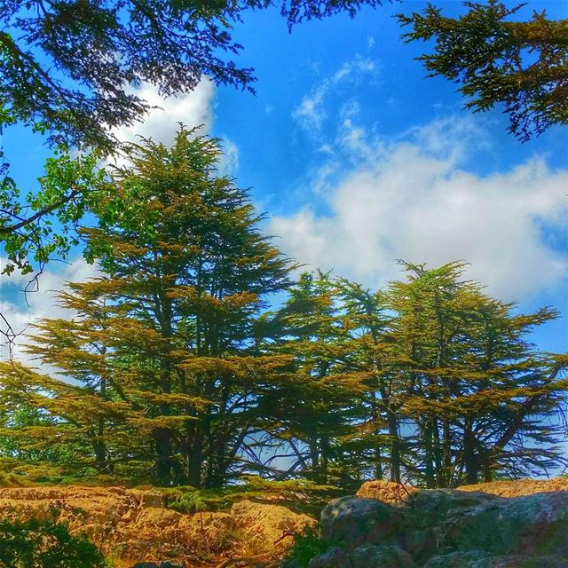 Like branches of a tree, we grow in different directions, yet our roots... (Arz Tannourine)
