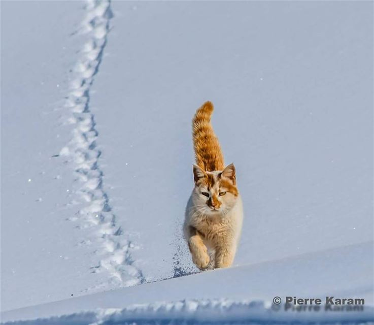 and  that's a  catwalk  cat  walking on the  snow  sunny  day  nikon ...