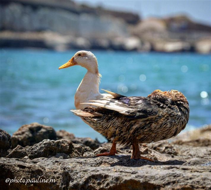 🐧🦆 follow  like  follow4follow  like4like  nikond3200  photoshoot ... (Soûr, Al Janub, Lebanon)