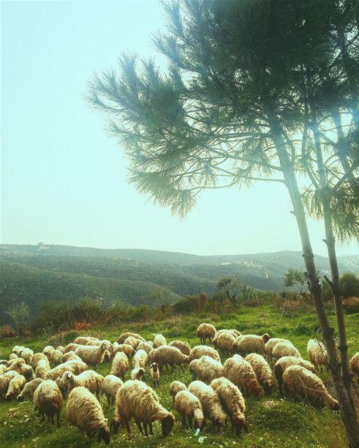 Lebanon NorthLebanon Batroun BatrounDistrict Rasnhash Nature Sheep ... (Ra'S Nhash, Liban-Nord, Lebanon)