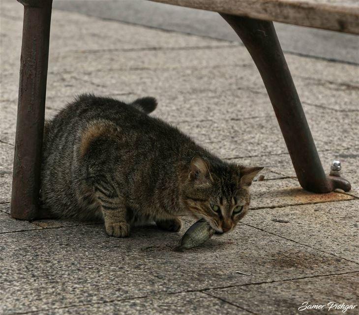 ..am not sharing this fish😾.Manara - Beirut.. Lebanon Beirut cat ...