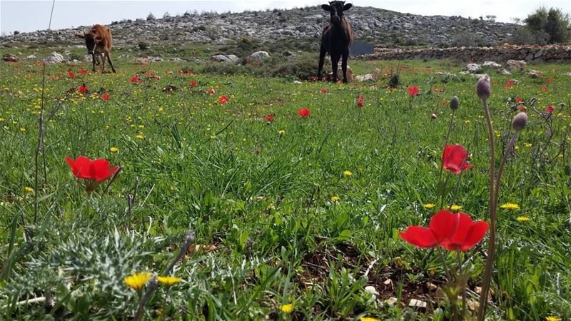 When in Yaroun green fields, red flowers and 2 curious creatures :)... (Yaroun)