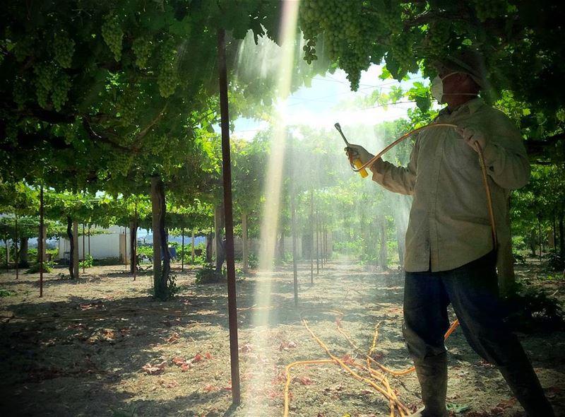 lebanon maghdouche grape wine agriculture naturephotography village...