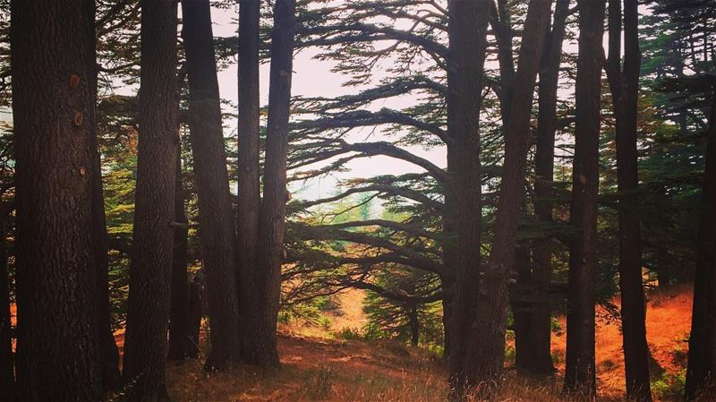 Happy Mother Nature... lebanon cedars cedarsoflebanon trees forest ... (Lebanon)