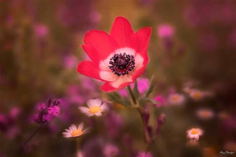 spring is here canon canonme photography 5ds shouf red flower ... (Brih - Elchouf)