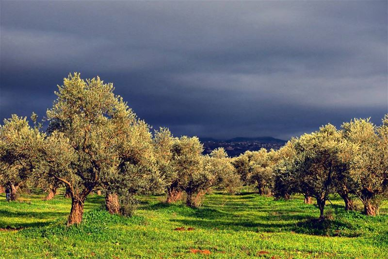 Golden Hour olive trees sunset thunderstorm clouds dark nature ...