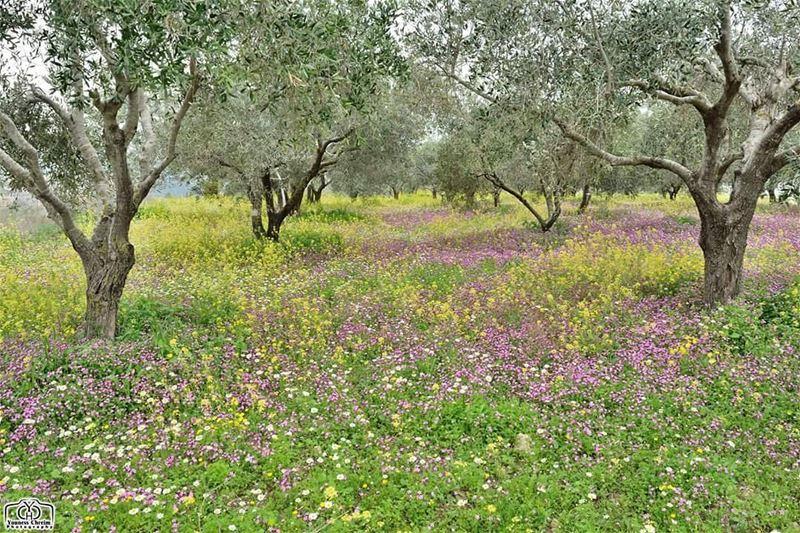 سجادة الربيع ... حومين_الفوقا : 22-03-2017 spring flowers nature ...