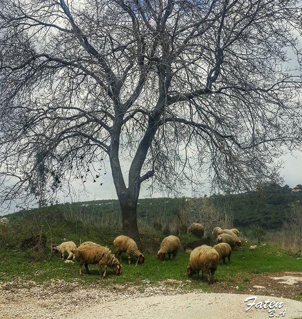 .🐑🐑🌳🐑🐑 _________________________________________Follow👇@Instaamici (Aïnâb, Mont-Liban, Lebanon)