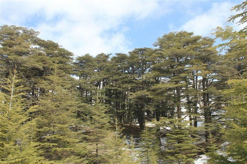 Green is the prime color of the world, and that from which its loveliness... (Cedars of God)