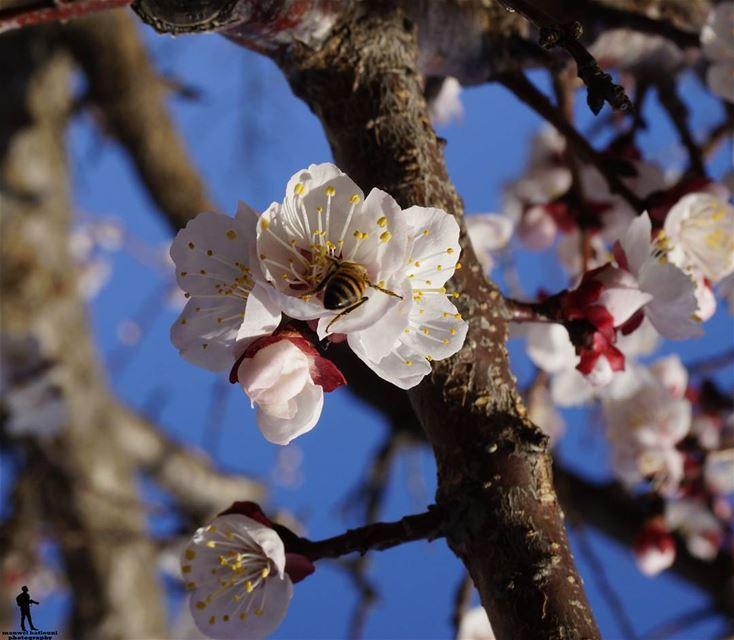 Good morning morning apricotflowers goodweather chouf jbaa lebanon...