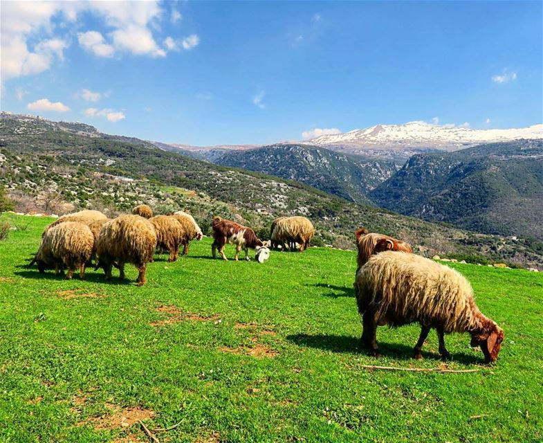 Peace ☺🐏. green field snow mountains sheep goats nature outdoors...