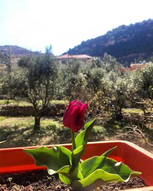 💞Home Sweet Home 💞 jezzine insta_jezzine tulips flowers ptk_lebanon ... (Jezzîne, Al Janub, Lebanon)