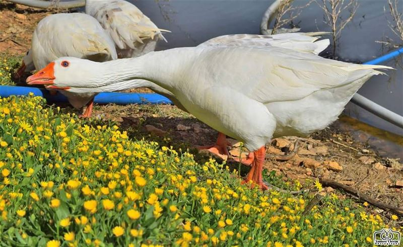 اسعدتم مساء duck animals nature lebanon southlebanon nabatieh ...