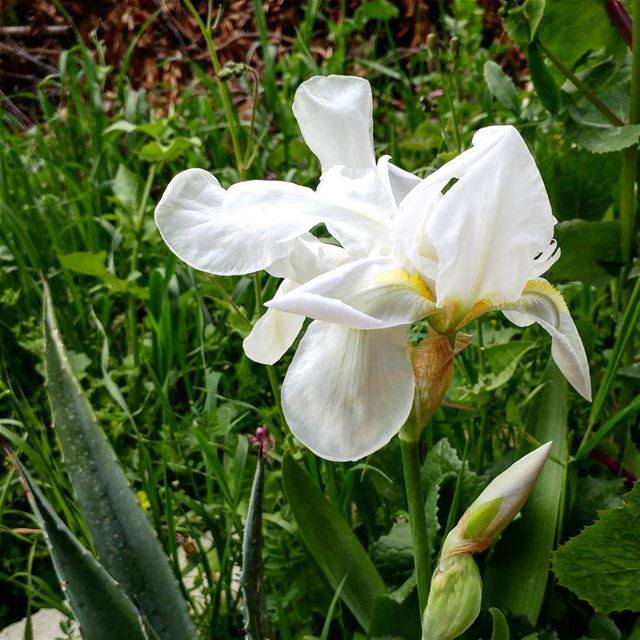 "Just spotted this wild iris in a ""adoomiyeh""(narrow pathway).  iris  bulb ... (Dayr Al Qamar, Mont-Liban, Lebanon)"