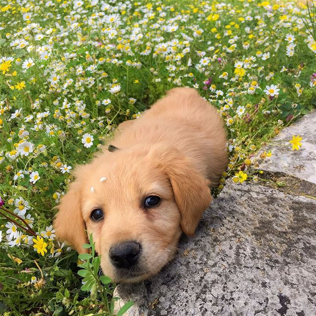 This  puppy knows well how to pose for  pictures 🐶 📸 goldenretriever ...