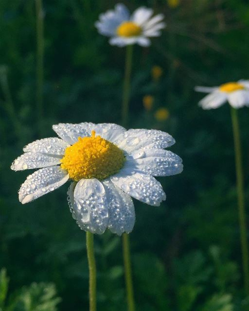 morningdew  Spring  daisy  sun  nature  water  socialenvy  ocean  lake ...