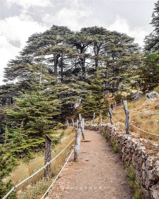 Cedars of Lebanon 🇱🇧 Cedrus Libani...... proudlylebanese ... (Cedars of God)