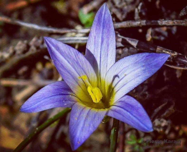 flower nikon nikon_photography_ d5300 lebanese yellow bleu lebanon...