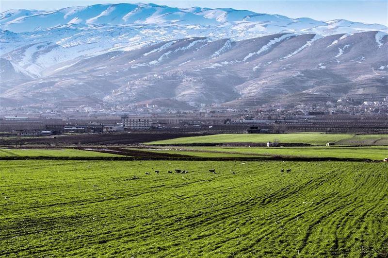 في_بلادي خلف جبل صنين اعلن الربيع بداية الخير في سهل الخير سهل البقاع... (Bekaa Valley)