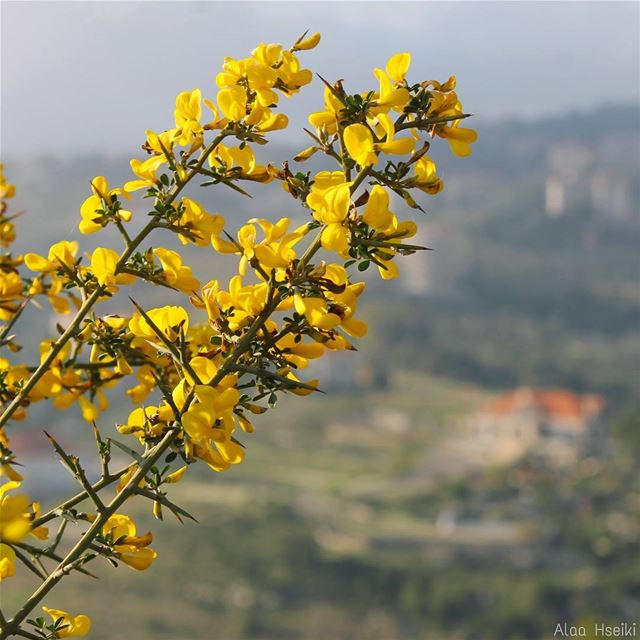 ويبقى الأمل..  lebanon  house  nature  flowers  april  yellow  canon ... (Baissour , Mount-Liban Lebanon)