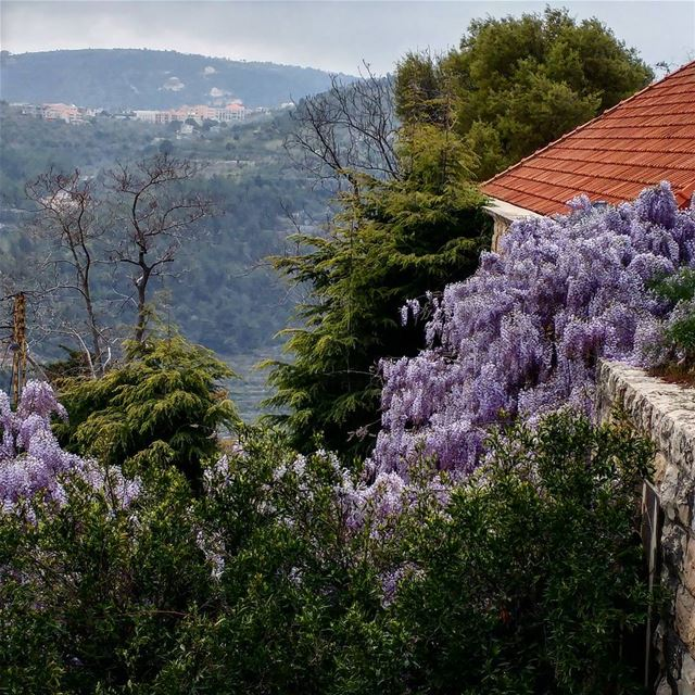 Love the sight of wisteria in the Spring. The petals are edible and can be... (Dayr Al Qamar, Mont-Liban, Lebanon)