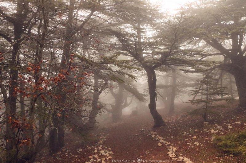 C E D A R S 🌲 bobsadekphotography lebanoninapicture weekend woods ... (Barouk Cedar Forest)