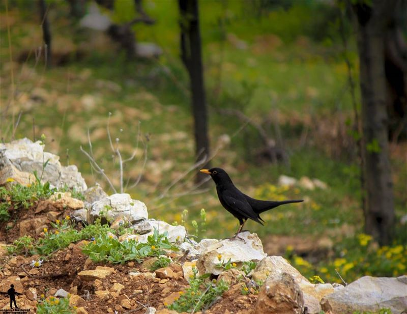 Good morning dear followers. morning spring nature blackbird chouf ...