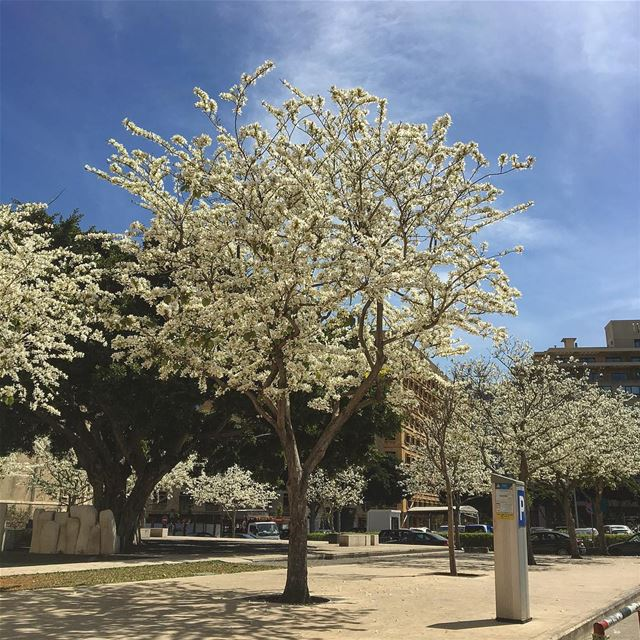 Spring in Beirut Beirut downtown spring blossom bluesky ... (Downtown Beirut)