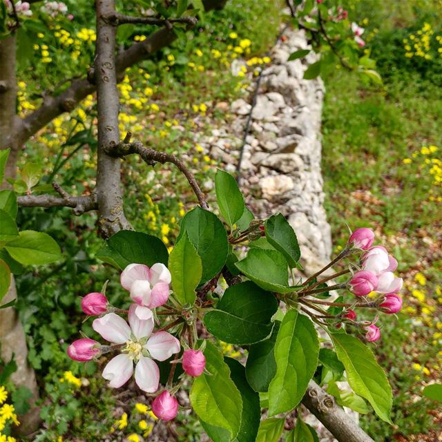 Can't get enough of these sights, sorry. Glorious Spring.  blossoms ... (Dayr Al Qamar, Mont-Liban, Lebanon)
