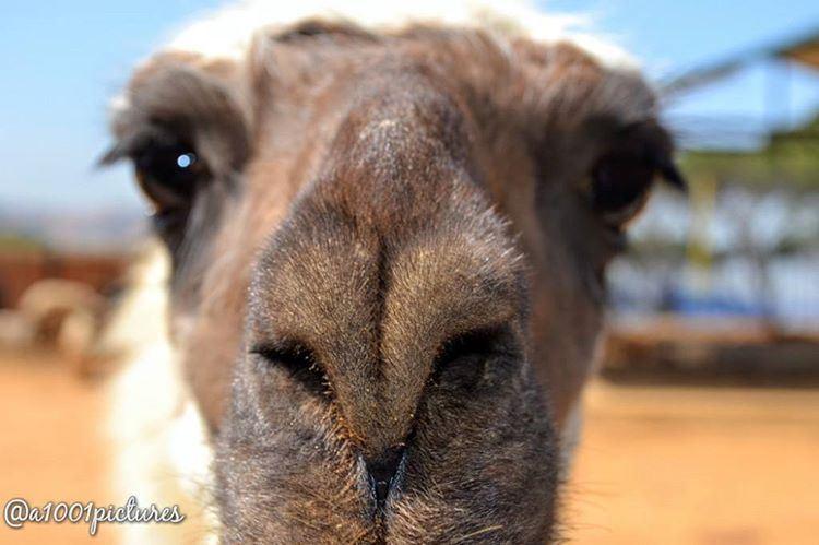 I am Beautiful 💞💋.... animal lama travel lebanon nikon ... (Ferme Mar Chaaya)