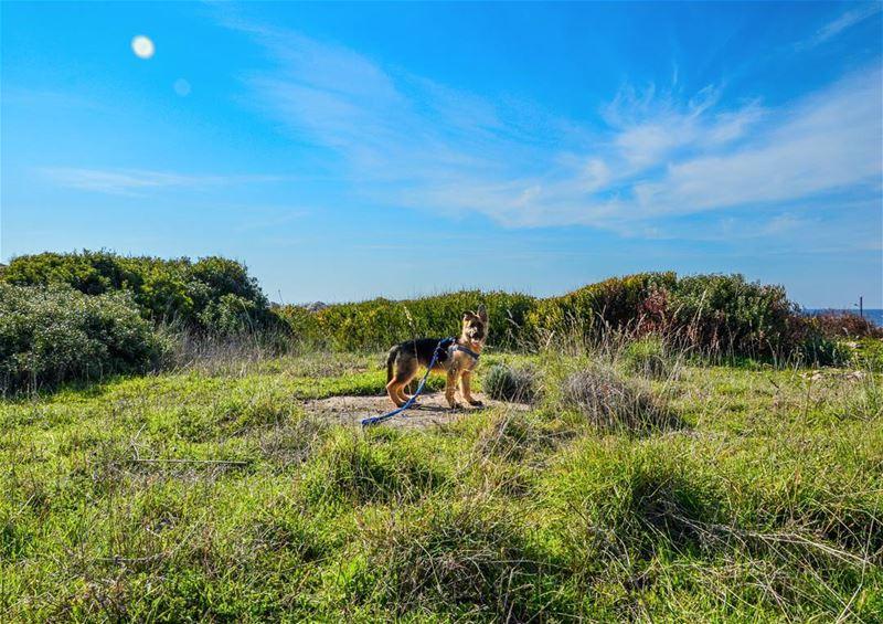 🌞🐶..... dog animal puppy germanshepherd nature sky landscape green... (Enfeh)