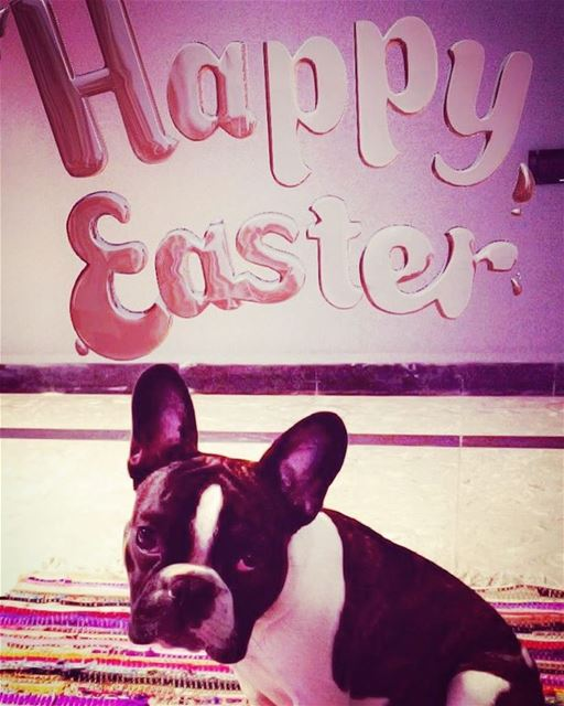 Happy Easter 🐇 🐣. happyeaster  bondthefrenchie  frenchbulldog ... (Beirut, Lebanon)