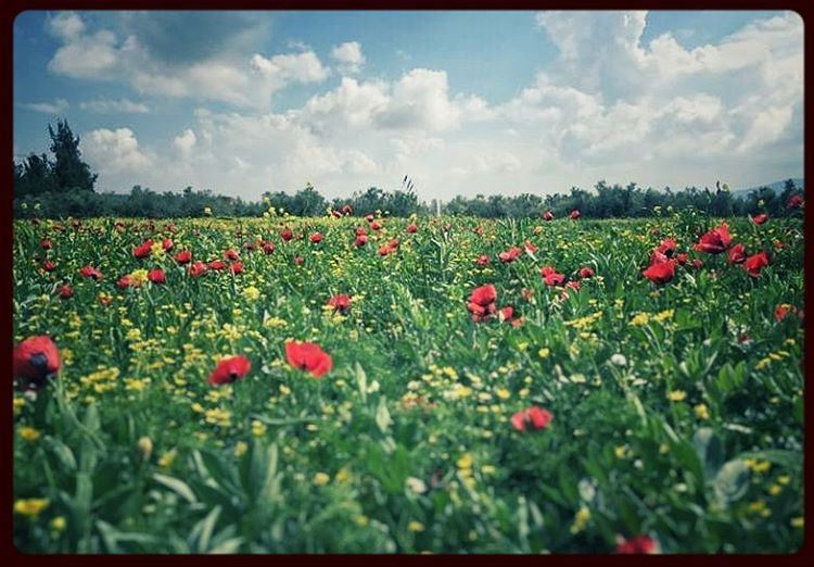 🌹🌹🌹🌹 sunny sunlight spring warmth poppies coquelicots red ... (Marjayoûn, Al Janub, Lebanon)
