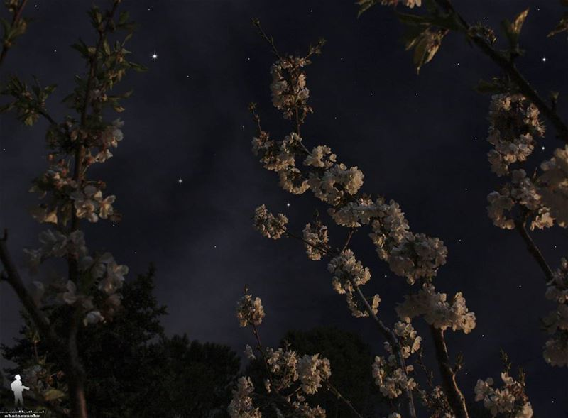 Night shot for cherry blossom. goodnight cherryblossom stars chouf ...